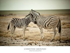 zebras | Namibia Love of a mother