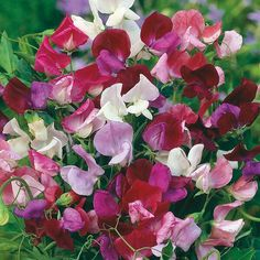 Sweetpeas come in a variety of colours from pastels to bright to rich and smell delicious