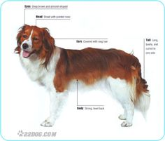 Kooikerhondje Pictures, Information, Care Requirements and Other Dog ...