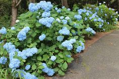 Woven Home: Hydrangeas: How to Make Cut Blooms Last  http://www.thistlewoodfarms.com/an-exclamation-point-project-2