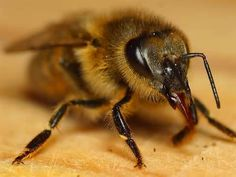 Honey Bee - - Yahoo Image Search Results