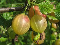 Ribes uva-crispa; Groseiller à maquereau, le fruit est solitaire contrairement à celui du Gadellier qui a des fruits en grappe.