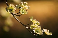 Gallery For > Dogwood Blossom Branch