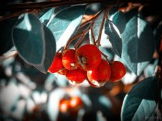 not sure what these were maybe #lillypilly - another one of #myoldphotos - played with some filters in photoshop . . . . #berries #redberries #botanica #nature #leaves #digitalphotography #closeup #red #tm #tasmania