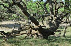 Amsterdamse waterleidingduinen 2014-04-11 Arno Ooms. Zomereik, lage vaak zeer breed uitgroeiende bomen. Veel voorkomend in dit gebied.