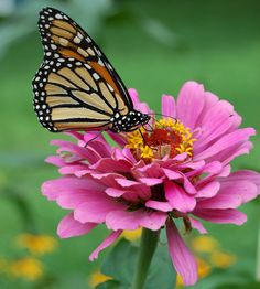 File:Monarch Butterfly Pink Zinnia 1800px.jpg - Wikimedia Commons