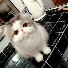 I am NOT a cat person....but OMG. Meet Hope, a Persian cat