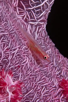 Small fish on soft coral taken in Gizo, Solomon Islands