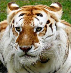 Los hermosos e inusuales Tigres Dorados |