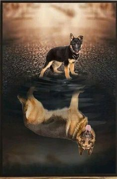 Sable German Shepherd, Strong and Loyal. Baby German Shepherds, Sable German Shepherd, Cutest German Shepherd Puppies, German Shepherd Temperament, Cute Puppies, Cute Dogs, Dogs And Puppies, Doggies, Beautiful Dogs