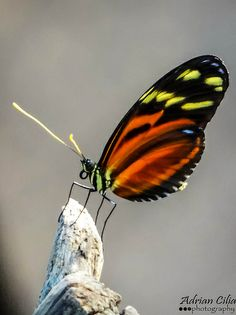 ˚Longwing Tiger Butterfly