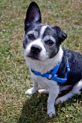 Mario - 6 year old male Boston Terrier Mix in Appleton, WI. Very friendly and loves attention; Somewhat energetic, but does calm down; Well-mannered. Adoption fee: $260