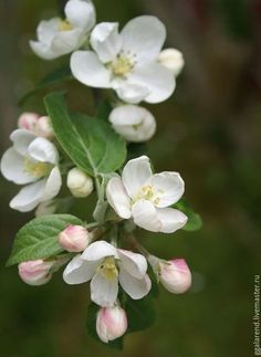 Apple Blossom - The Swenglish Home Apple Flowers, Sugar Flowers, Spring Blossom, Cherry Blossom, Apple Blossoms, Apple Blossom Flower, White Flowers, Beautiful Flowers, Small Flowers