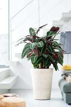 plantes a motifs calathea cache pot conique blanc #design #plants #decoration