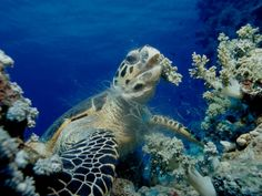 Hawksbill Sea Turtle (Eretmochelys Imbricata) Eating Soft Corals Photographic Print by Reinhard Dirscherl at Art.com