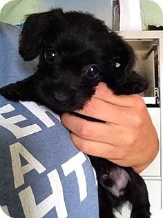 Spartanburg, SC - Toy Poodle/Dachshund Mix. Meet Kirby, a puppy for adoption. http://www.adoptapet.com/pet/11229312-spartanburg-south-carolina-toy-poodle-mix