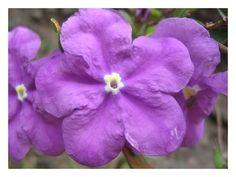 Flores macaubenses.