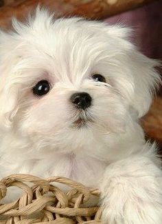 Adorable Maltese Puppy In Basket Teacup Cats, Teacup Puppies, Cute Puppies, Cute Dogs, Dogs And Puppies, Doggies, Teacup Maltese, Yorkshire Terrier Puppies, Maltese Dogs