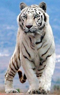 Tigres Bob Hairstyles layered bob hairstyles for over 50 Huge Cat, Big Cats, Cool Cats, Cats And Kittens, Most Beautiful Animals, Majestic Animals, Beautiful Cats, Strange Animals, Beautiful Creatures