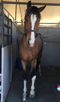 """Pamela, a 5 yo energic mare. She is curious of everything and scared of nothing"""