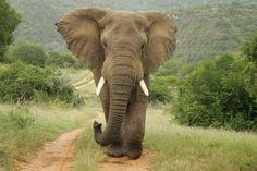 African Elephant (Elefante-africano) - 2014, on the edge of extinction.