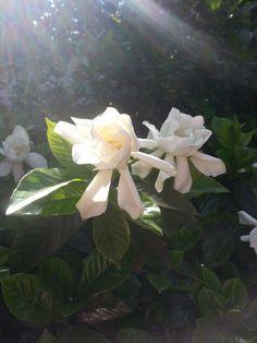 Gardenias !!