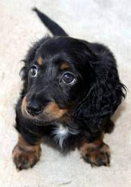 mini wiener dog. yes please :)