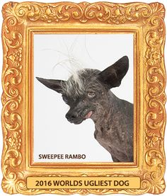 Sweepee Rambo - Blind Chihuahua & Chinese Crested Mix, Wins 2016 World's Ugliest Dog Contest