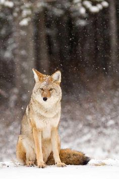 Snowing on the Coyote...are showing up in the woods near Detroit, MI 2/17/13 ....warnings to watch your pets