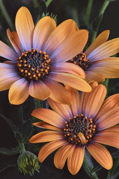 Beautiful Rose Flowers, Happy Flowers, Exotic Flowers, Amazing Flowers, Daisy Background, Flowers For Algernon, Diy Pinterest, Sunflowers And Daisies, Purple Lily