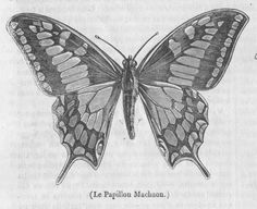 Old World Swallowtail | Old Book Illustrations
