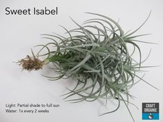 "Tillandsia ""Sweet Isabel"" (T.tectorum x T. Air Plants, Garden Plants, House Plants, Organic Water, Sun Crafts, Low Maintenance Plants, Summary, Gardening Tips, Herbs"