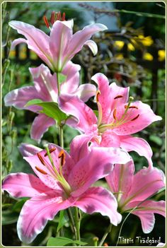 Lily Star gazer