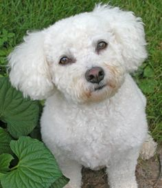 The first step in making your Bichon Frise fit for polite company would be to…