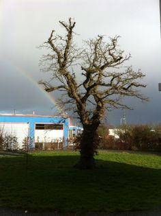 Rainbow emerging from oak tree in West Swindon