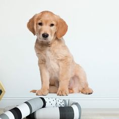 muursticker puppy golden retriever kek hond amsterdam diy kinderkamer huisdier Labrador Retriever, Puppy, Dogs, Animals, Amsterdam, Products, Labrador Retrievers, Animales, Animaux