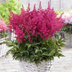 False Spirea Astilbe Younique Ruby Red