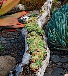 A hollowed out tree limb as a planter.