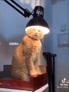 Funny Cute Cats, Cute Kitten Gif, Cute Kittens, Cute Funny Animals, Top Funny, Funny Animal Memes, Funny Animal Videos, Funny Animal Pictures, Cat Memes