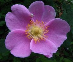 Synonym: Rosa nutkanaensis Rosa nutkana also named Nootka rose or Wild rose comes from the Cinnamomeae family. House Plants For Sale, Plants For Sale Online, Planting Roses, Planting Bulbs, House Plant Delivery, Wildflower Tattoo, Fruit Seeds, Blue Roses, Flower Pictures
