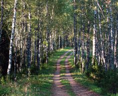 A forest trail running along the top of an esker in Põhja-Kõrvemaa, Estonia, in September.  This picture is in Public Domain. forest, trees, trail, path, sunny, green