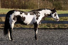 Equine American Paint Horse western quarter paint horse paint pinto horse Gypsy Vanner Indian pony solid tovero overo frame sabino: