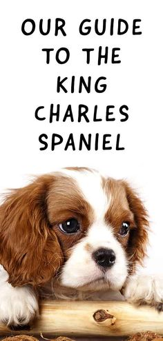 King Charles Spaniel Is This Friendly Dog Your Perfect Pet is part of King charles dog - Introducing the King Charles Spaniel Dog breed information and resources Health, temperament, origins tips and fun facts about this noble little dog King Charles Puppy, Cavalier King Charles Dog, King Charles Spaniels, Puppy Care, Dog Care, Puppies And Kitties, Doggies, Spaniel Puppies, Spaniel Breeds