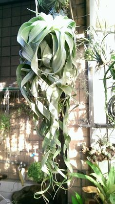 Lovely Large Hanging Xerographica