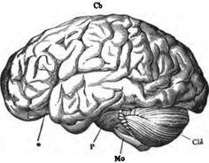 Human Brain Art Print, Brain Illustration Art Print