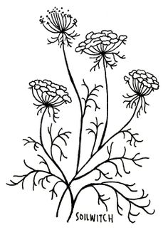 soilwitch, queen anne's lace