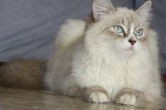 Gatto siberiano ...