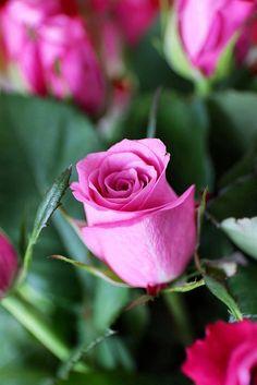 Rose   Sa Mu   Flickr