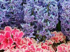 hyacinths, spring flowers