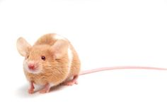 Tips on caring for pet mice.